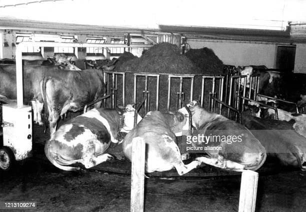 Auf der faulen Haut liegen und das Futter in Kauhöhe serviert bekommen: Den Luxus können diese Kühe in einem der ersten Rundställe im bayerischen...