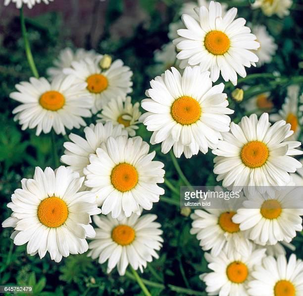 Aufsicht auf die Bluetenkoepfe Weisser Margeriten, auch Weisser Wucherblumen, Leucanthemum vulgare