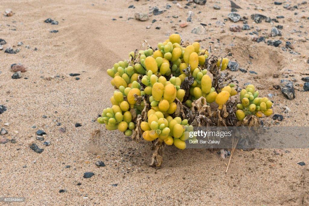 Augea capensis - Desert succulent plants : Stock Photo