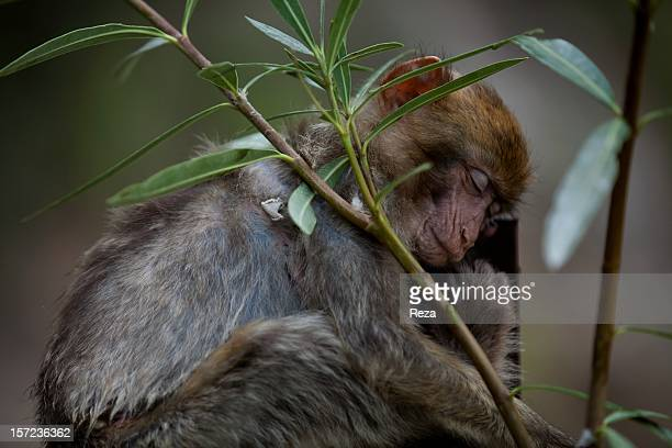 August 17th Town of Setif Algeria In Kabylia there are many monkeys who roam the streets and beg for food Some are captured and domesticated as a...