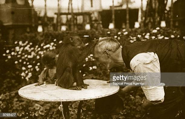 A baboon grooms the head of a keeper at Bostock's Jungle Earls Court