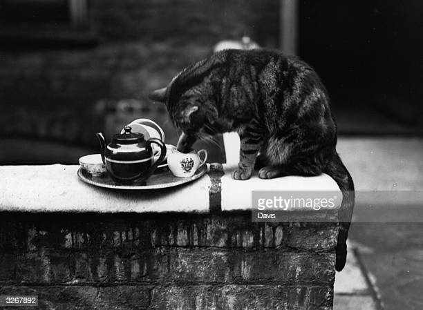 Paddy the cat with his paw in the milk jug from the tea tray