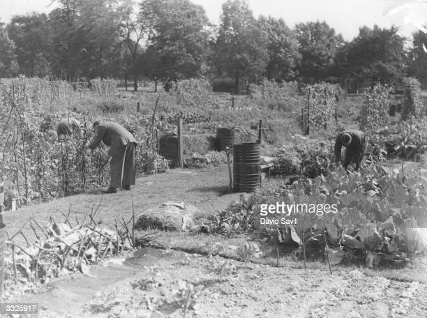 Gardeners tending the vegetables growing in allotments at Clapham Common London