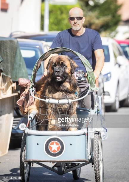 Bernhard Krause rides his dog Arthur a huge Leonberger on his cargo bike through the city Photo Frank Rumpenhorst/dpa