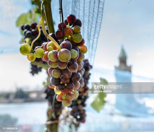 Blue nets protect the grapes from birds and thieves on the vineyard of the Hamburg Parliament The harvest of the 100 vines will take place again this...