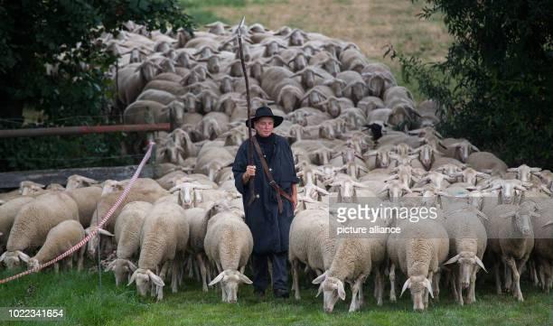 August 2018, Germany, Markgröningen: Shepherdess Ute Svensson walks through a narrow passage with sheep during herding by the Baden-Württemberg State...