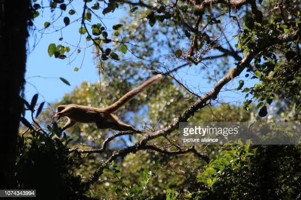 A lemur of the species Rotstirnmaki runs on a branch in the Ranomafana National Park in southeast Madagascar from one tree to the next Photo Jürgen...