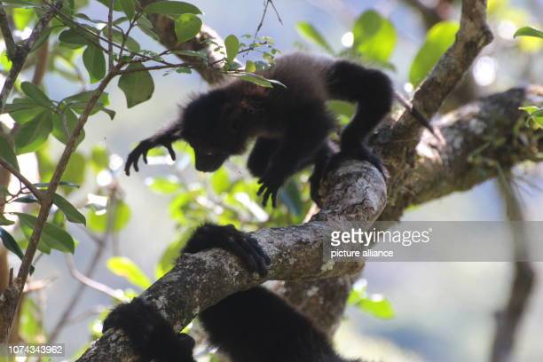 An about two month old lemur baby of the endangered species EdwardsSifaka jumps in the national park Ranomafana in the southeast of Madagascar...
