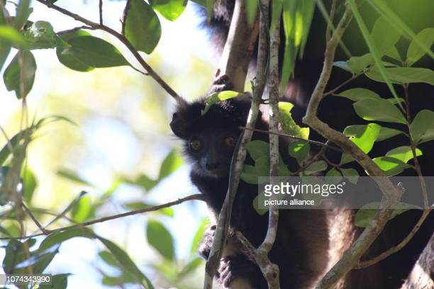 An about two month old lemur baby of the endangered species EdwardsSifaka sits in a tree in the Ranomafana National Park in southeast Madagascar...