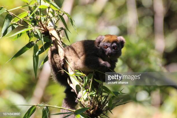 An eastern bamboo lemur sits in a tree and eats leaves in the Ranomafana National Park in southeast Madagascar Photo Jürgen Bätz/dpa