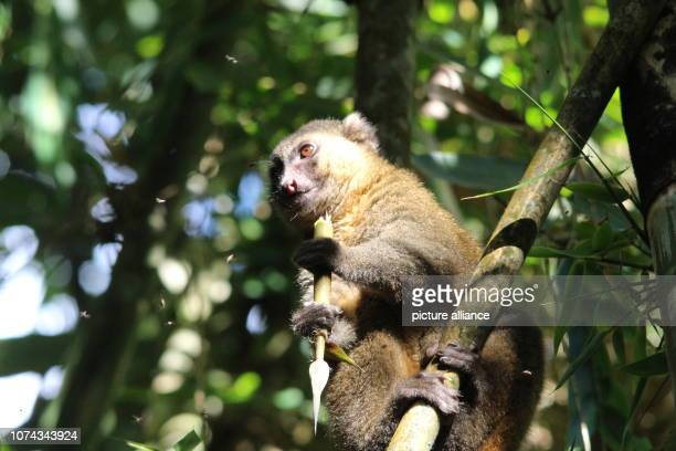 An endangered golden bamboo lemur sits in a bamboo plant in the Ranomafana National Park in southeast Madagascar and eats a piece of bamboo Photo...