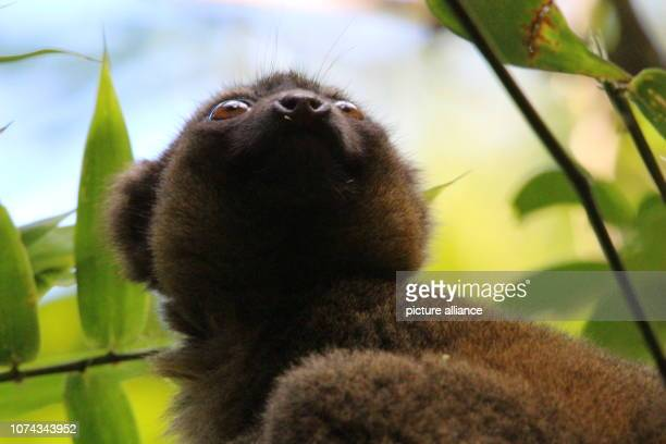 An endangered golden bamboo lemur sits in a bamboo plant in the Ranomafana National Park in southeast Madagascar Photo Jürgen Bätz/dpa