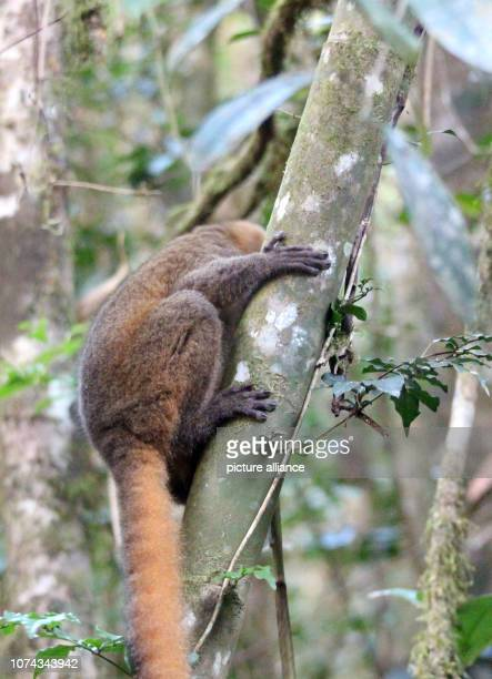 An endangered Golden Bamboolemur clings to a bamboo plant in the Ranomafana National Park in southeast Madagascar Photo Jürgen Bätz/dpa