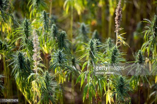 Hemp plants grow in the 45 hectare hemp labyrinth Since the beginning of July the maze with 15 million plants has been open on the premises of...