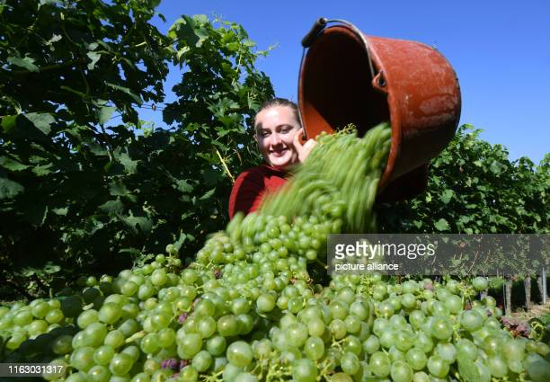 21 August 2019 BadenWuerttemberg Offenburg Wine Princess Lea Haas pours grapes of the Findling variety into a large vat In Ortenau and at Kaiserstuhl...