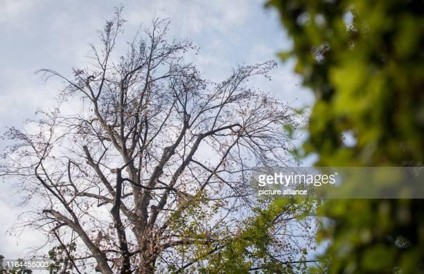 28 August 2019 BadenWuerttemberg Schwetzingen Heavily damaged trees stand in the Schwetzingen castle garden Rising temperatures and less...