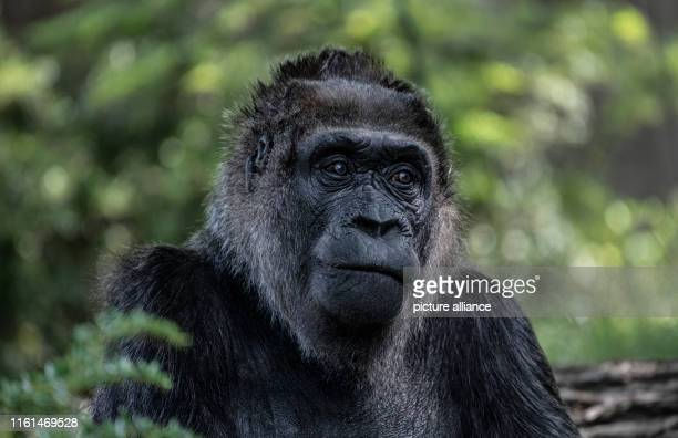 "August 2019, Berlin: Gorilla female ""Fatou"" sits in her enclosure at the zoo. Photo: Paul Zinken/dpa"