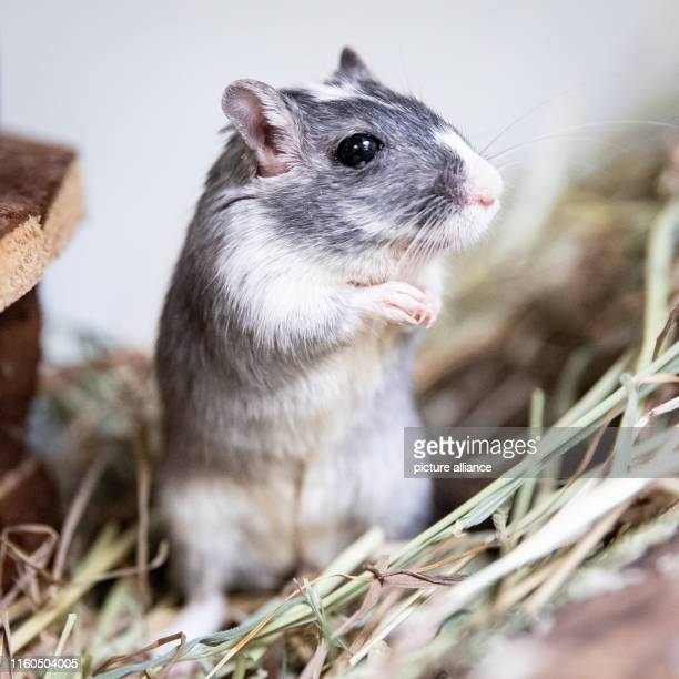 """August 2019, Hamburg: The Mongolian gerbil """"Gerda"""" sits in a cage in the Hamburg animal shelter. The animal shelter on Süderstraße is bustling after..."""