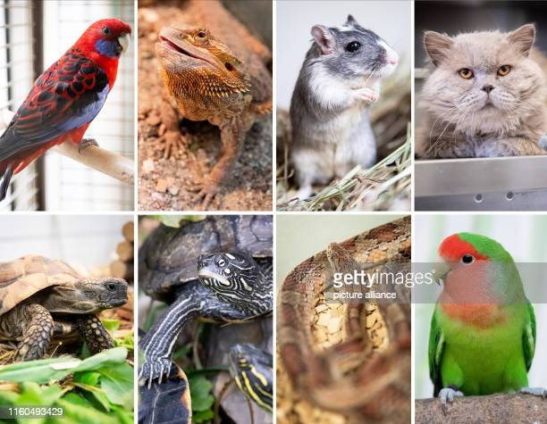 The picture combo shows from top left to bottom right Pennant parakeet Joey Bearded dragon Lisa Mongolian gerbil Gerda British longhaired highlander...