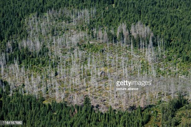 August 2019, Lower Saxony, Braunlage: View of the Harz National Park with partly dead spruces. Many trees in the Harz have died from storms, heat and...