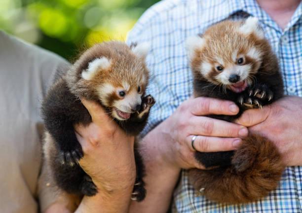 DEU: Little Panda Offspring