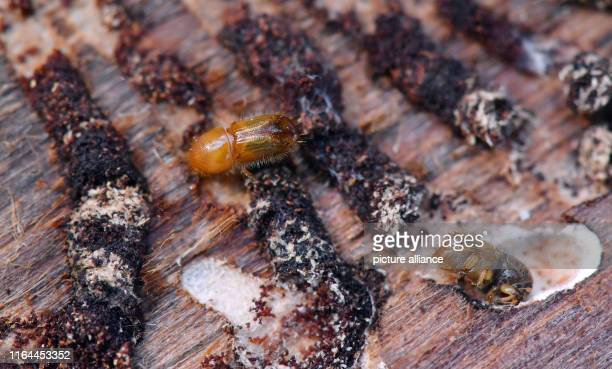 August 2019, Saxony, Augustusburg: A bark beetle crawls on a spruce trunk in the forest near Augustusburg. Since October 2017, 5.2 million cubic...