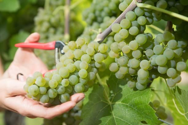 DEU: Early Grape Harvest In Saxony
