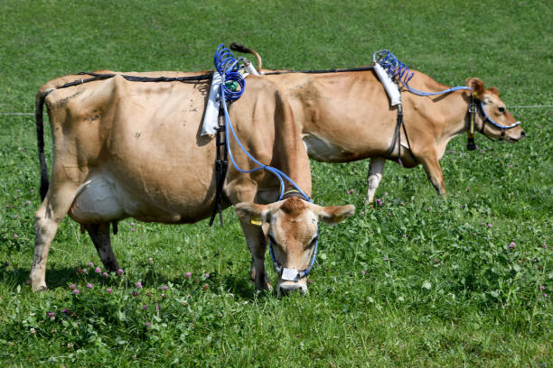 DEU: Researchers Investigate Methane Emissions From Cows