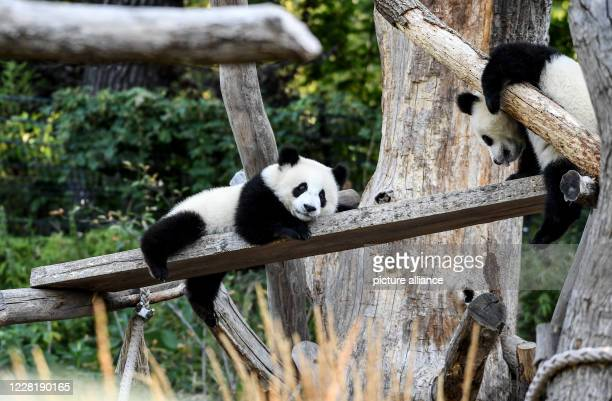 August 2020, Berlin: The panda twins Pit and Paule play in their enclosure at the Berlin Zoo. A year ago, on 31 August, the first panda birth in a...