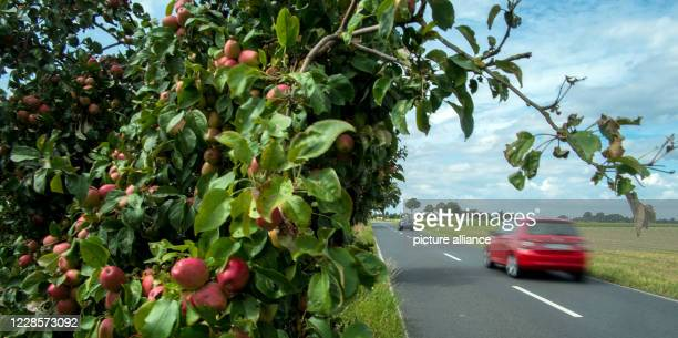 August 2020, Lower Saxony, Brunswick: At the roadside near the Lamme district there is an apple tree heavily laden with ripe fruit. More and more...