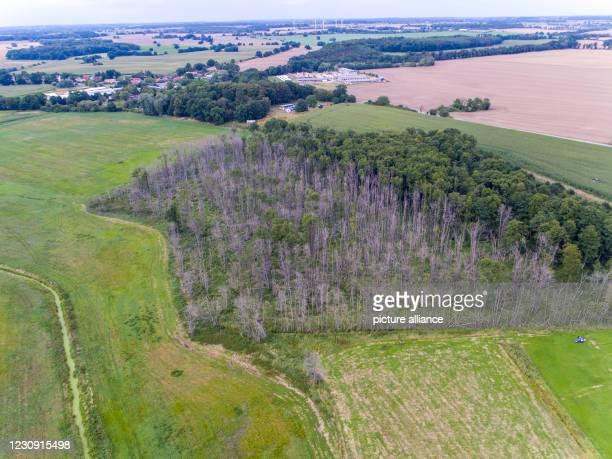August 2020, Mecklenburg-Western Pomerania, Klein Welzin: Dead trees standing in a small patch of forest . Photo: Jens Büttner/dpa-Zentralbild/ZB