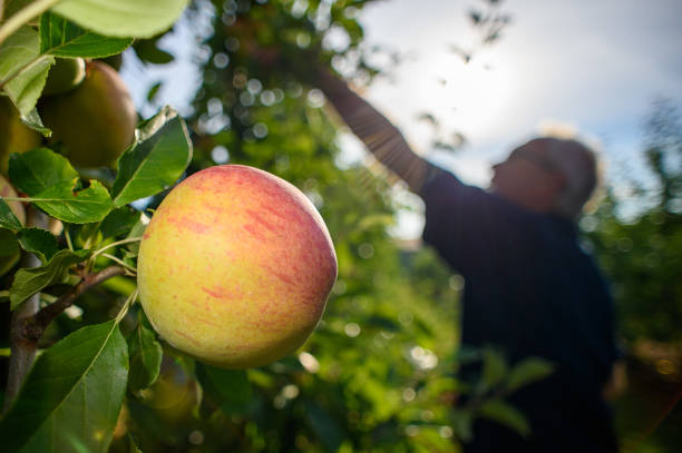 DEU: Apple Harvest Has Begun