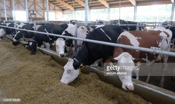 August 2021, Saxony, Leipzig: Dairy cows of the Holstein-Frisian breed feed in a barn at the Kitzen agricultural production facility near Leipzig....