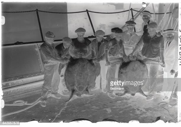 August 28 1922 Cheer Up Fellows Turtles Are In Season The SS Toloa arrived here August 28 with a cargo of turtles from Costa Rica The smallest of the...