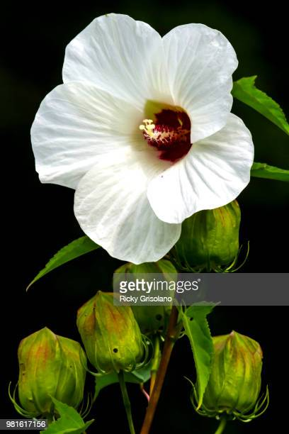2014 august halberd-leaved rose mallow - 01 - halberd stock pictures, royalty-free photos & images