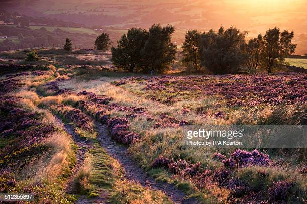 August sunset with moorland grasses and heather