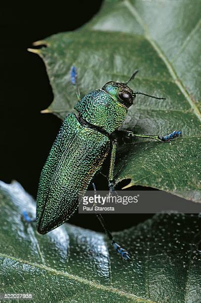 Aurigena unicolor (jewel beetle)