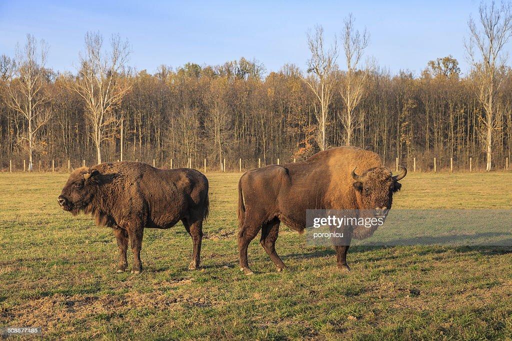 aurochs : Stock-Foto