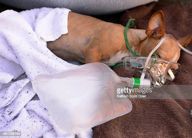 Aurora Animal Care Division places an oxygen mask on Princess a Chihuahua that was rescued from inside the bottom unit apartment where the fire...