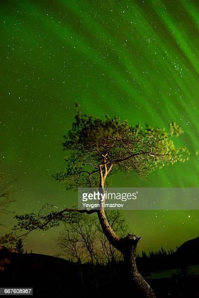 Aurora borealis above tree at Polygonal Lakes at night, Khibiny mountains, Kola Peninsula, Russia