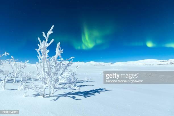 Aurora Borealis on frozen tree, Lapland, Sweden