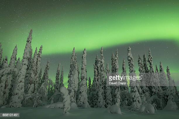Aurora over frozen trees, Vittangi, Kiruna, Sweden
