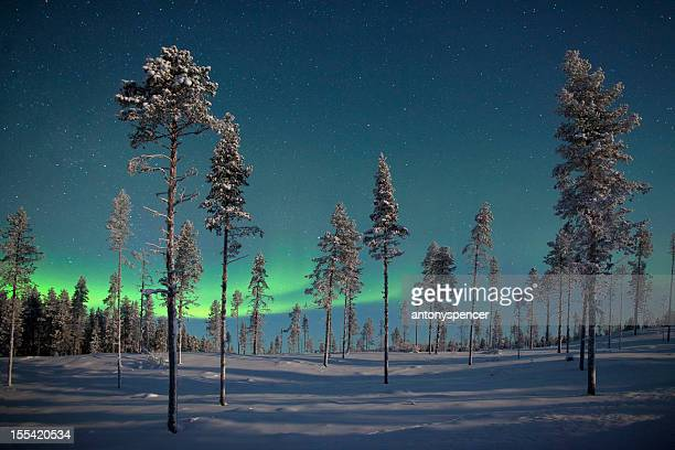 Aururora over frozen pine trees.