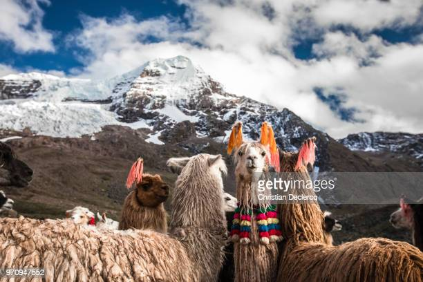 ausangate trek,  cusco - peru - ペルー ストックフォトと画像