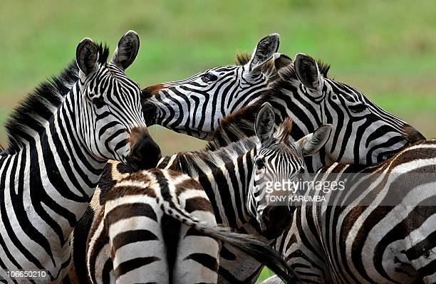 Zebras frolic in the Serengeti national reserve on October 25 2010 A proposed traderoute to cut right through the Serengeti the annual stage for the...