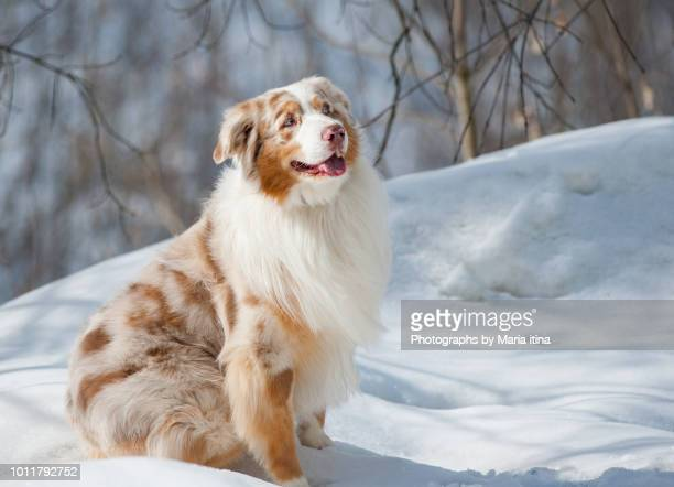 aussie dog on a snow - australische herder stockfoto's en -beelden