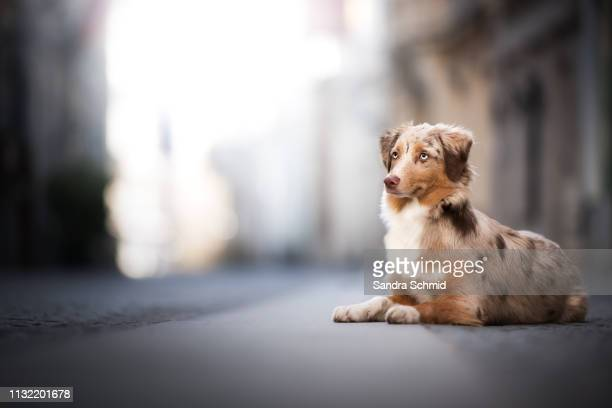 aussie puppy in the city - städtische straße stock pictures, royalty-free photos & images