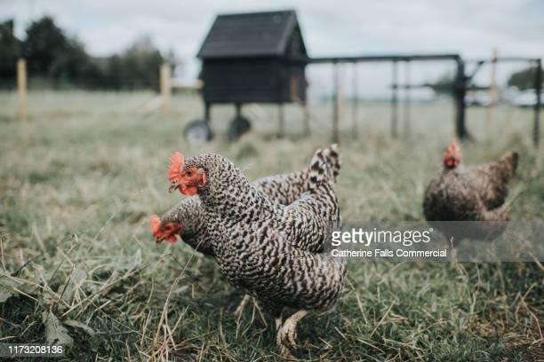 austra white hens - 鶏小屋 ストックフォトと画像