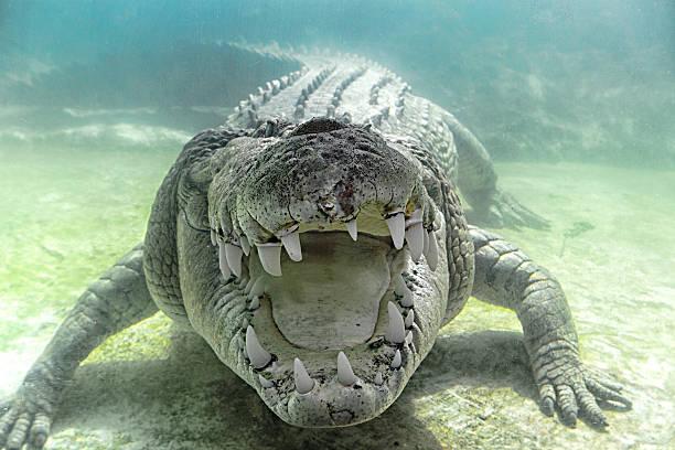 Austrailian Sea Crocodile