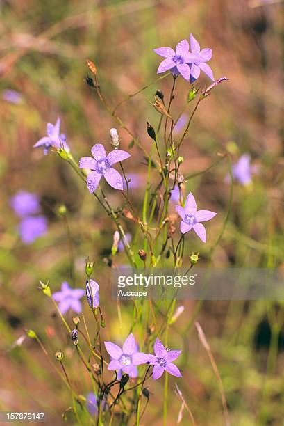 Austral bluebell flowering on grass floor of Bimble box/Brigalow woodland Goonderoo Bush Heritage Reserve near Emerald Queensland Australia